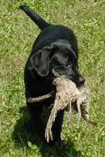 Macy's first Pheasant!!!  Good Girl!!!